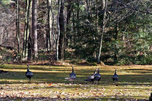 Wild Turkey_800