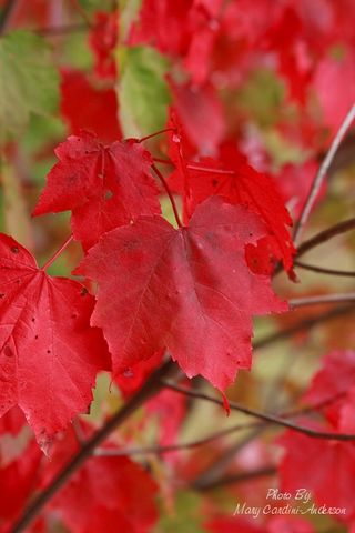 Red leaves 2_800
