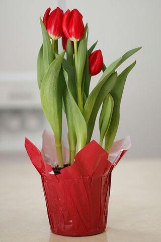 Tulip 2_800