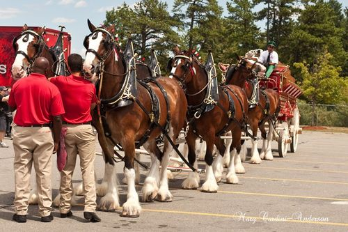 Clydsdales 1_800_