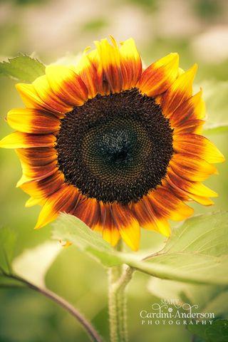 Sunower dark (1 _800