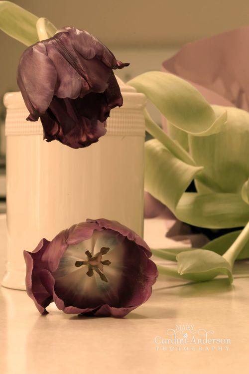 Tulip moody.5 _4x6_Sig
