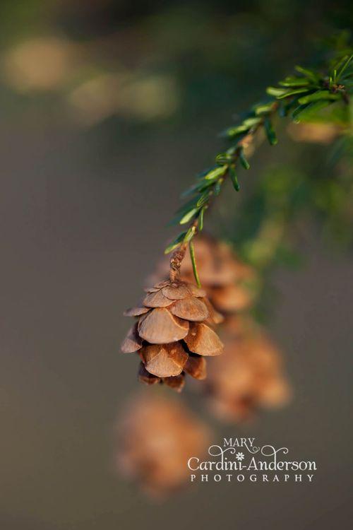 Baby pinecones_4x6SIG