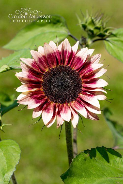 Pinl Sunflower-6189-4x6_sig